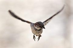 latający wróbel fotografia stock