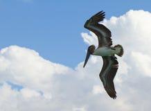 latający zasięrzutny pelikan Obrazy Stock