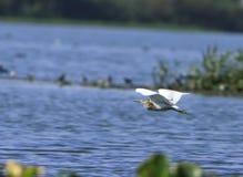 latająca heron Zdjęcia Stock