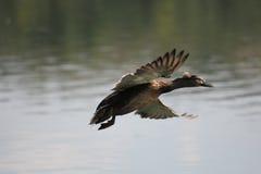 Latająca kaczka Zdjęcie Stock