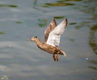 Latająca kaczka Obraz Royalty Free