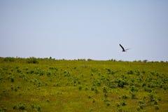latająca niebieska heron obraz stock