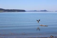 latająca niebieska heron Obrazy Royalty Free