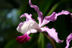 Latająca orchidea Fotografia Stock