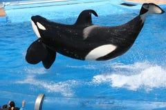 latająca orka Zdjęcie Stock