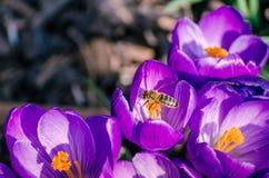 Latająca osa na daffodils Zdjęcia Stock