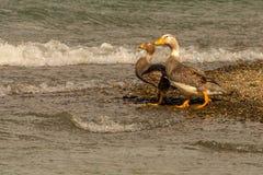 Latająca parostatek kaczka Obrazy Royalty Free
