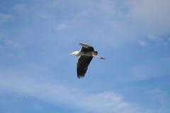 latająca popielata czapla Zdjęcie Royalty Free