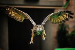 latająca sowa Obraz Stock