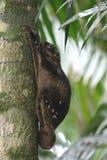 Latająca wiewiórka Obrazy Stock