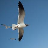 latającego ptaka mewa niebo czyste obraz stock