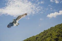 latającego ptaka mewa niebo czyste Fotografia Stock