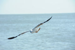latający akci seagull Fotografia Royalty Free