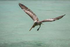 Latający albatros Obraz Royalty Free