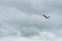 Latający bocian niebieski zachmurzone niebo Obrazy Royalty Free