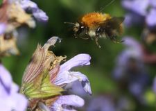 Latający bumblebee Obraz Stock