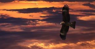 Latający Czarnej kani Milvus migrans Fotografia Royalty Free