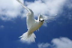 Latający Czarodziejski Tern ptak Zdjęcie Stock