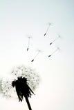 latający dandelion ziarna Fotografia Royalty Free