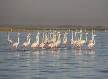 Latający flamingi przy Nalsarovar, Gujarat, India Zdjęcia Royalty Free