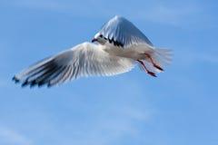 latający frajera wysokiego morza niebo Zdjęcia Royalty Free