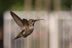latający hummingbird Obraz Royalty Free