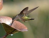 Latający Hummingbirds Obrazy Royalty Free