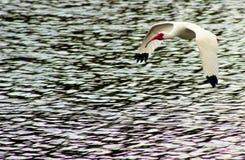 latający ibis Zdjęcia Stock