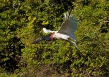 latający jabiru Obraz Royalty Free