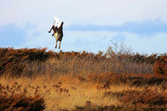 latający jeleni tryb Zdjęcie Royalty Free