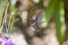 latający kolibra Obraz Royalty Free