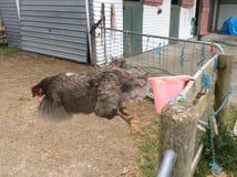 Latający kurczak Zdjęcie Royalty Free