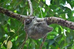 Latający lemur Obrazy Royalty Free