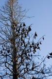 latający lisy Zdjęcie Stock