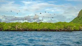 Latający lisy na tle mangrowe Zdjęcia Royalty Free
