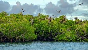 Latający lisy na tle mangrowe Fotografia Stock