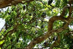 Latający lisy w drzewie w kopach Obrazy Stock