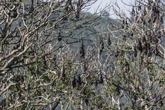 Latający lisy w dzikim na wyspie Sri Lanka Obraz Royalty Free