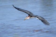 latający marabut Obraz Royalty Free