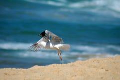 latający mewa Obraz Stock