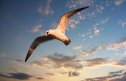 latający mewa Zdjęcia Royalty Free