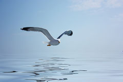 latający mewa Zdjęcia Stock