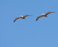 latający mewy Obraz Royalty Free