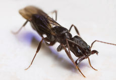 latający mrówki odontomachus zdjęcia royalty free