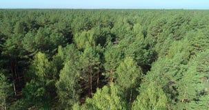 Lataj?cy nad sosnowym lasem, lata nad treetops zdjęcie wideo