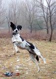 Latający ogara pies Obraz Stock
