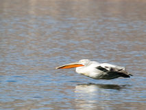 latający pelikan Zdjęcia Stock