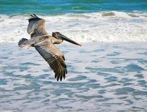 latający pelikan Obraz Royalty Free