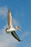 Latający pelikan, los roques wyspy, Venezuela Zdjęcia Stock