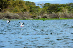 Latający ptak Kenja Afryka) - Jeziorny Naivasha (- Obraz Royalty Free
